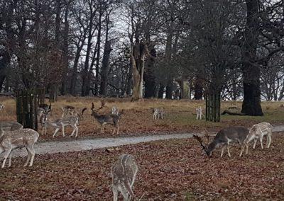ciervos (2)